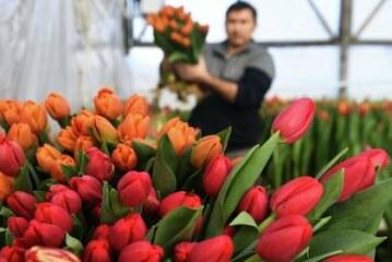 Москвичкам подарили более 300 тысяч тюльпанов по акции «Вам, любимые»