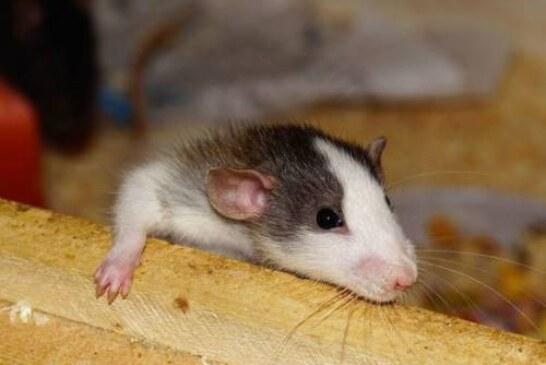 Китайские ученые заставили самцов крыс рожать