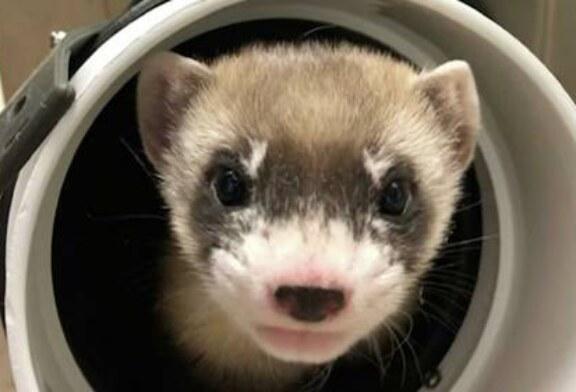 В США впервые успешно клонировали животное вымирающего вида