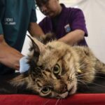 Ю. Куклачев: COVID-19 довел кошек до жизни собачьей