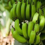 Неизлечимая болезнь уничтожила самый популярный в мире сорт бананов